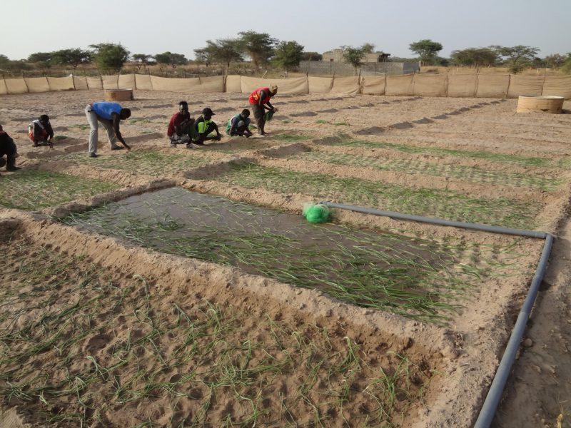 Fields in Senegal after installing pumps